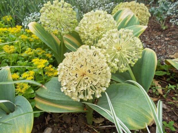 Лук каратавский (Allium karataviense)