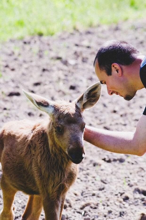 Парень спас маленькую лосиху, и теперь она приходит к нему из леса каждый день животные, лось, спасение